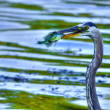 Great Blue Heron catches a Bluegill in High Dynamic Range — Stock Photo