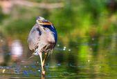 Great Blue Heron Fishing in High Dynamic Range — Stock Photo