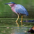 Green Heron Fishing in HDR — Stock Photo