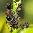 Bull Ant in HDR — Stock Photo