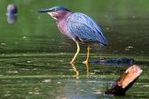 Green Heron Fishing in HDR — Stock Photo