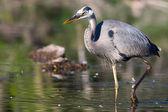 Great blue heron pesca em hdr — Foto Stock
