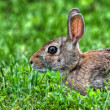 Jack Rabbit in the Grass in HDR — Stock Photo