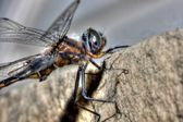 Common Darter Dragonfly in HDR — Stock Photo