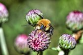 Golden Northern Bumblebee (Bombus sp.) in HDR — Stock Photo
