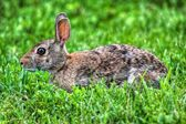 Джек кролик отдыхает в hdr — Стоковое фото