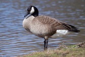 Canadian Goose standing — Stock Photo