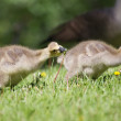 Canada goose gosling walking on the grass  — Stock Photo