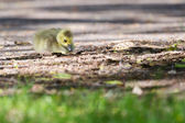 Canada Geese goslings resting — Stock Photo