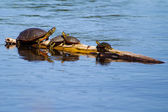 Painted Turtles Basking in the Sun. — Stock Photo