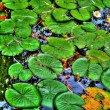 Lily pads in calm reflection pond in HDR — Zdjęcie stockowe #38039491