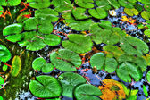 Lily pads in a calm reflection pond in HDR — Stock Photo