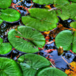 Lily pads in calm reflection pond in HDR — Zdjęcie stockowe #38043279