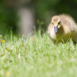 Canada goose gosling walking and eating — Stock Photo #38893887