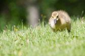 Canada goose gosling marcher et manger — Photo