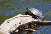 Bemalt schildkröte sonnen — Stockfoto