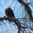 Stock Photo: American Bald Eagle