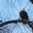 American Bald Eagle — Stock Photo #39081457