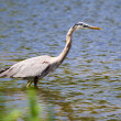 Great Blue Heron fishing — Stock Photo #39081481