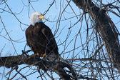 American Bald Eagle — Stock Photo