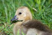 Canadian Goose Gosling — Stock Photo