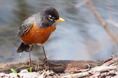 Front view of American robin, turdus migratorius — Stock Photo
