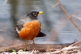 Front view of American robin, turdus migratorius — Foto de Stock