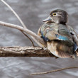 Male wood duck perched — Stock Photo #39342693
