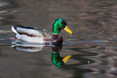 Mallard Ducks (Anas platyrhynchos) relaxing in pond — Stock Photo