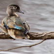 Male wood duck perched — Stock Photo #39402967