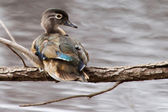 Male wood duck perched — Stock Photo