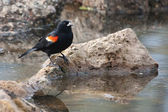 Male Red-winged Blackbird in the marsh — Stock Photo