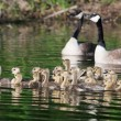 Group of Canadigoslings swimming together — Stock Photo #39489547