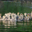 Group of Canadigoslings swimming together — Stock Photo #39489551