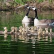 Group of Canadigoslings swimming together — Stock Photo #39489557