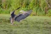 Great Blue Heron in Flight — Stock Photo