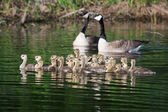 A group of Canadian goslings swimming together — Stock Photo
