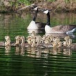 Group of Canadigoslings swimming together — Stock Photo #39527827