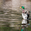 Mallard Ducks (Anas platyrhynchos) flapping wings in pond — Stock Photo