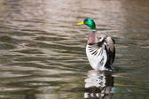 Mallard Ducks (Anas platyrhynchos) flapping wings in pond in sof — Stock Photo