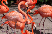 Pink flamingo in zoo — Stock Photo