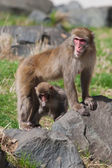 Mother and baby Macaque (Snow) Monkey's in soft focus — Stock Photo