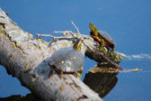 Painted Turtles Basking in the Sun — Stock Photo