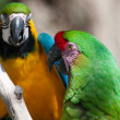 Two Macaw's perched on a tree — Stock Photo