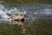 Female Wood Duck (Aix sponsa) landing — Stock Photo
