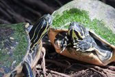 Painted turtle in wildlife in soft focus — Stock Photo