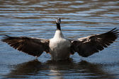 Canadian Goose flapping wings — Stock Photo