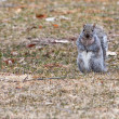 Gray Squirrel running about — Stock fotografie