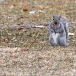 Gray Squirrel running about — Stok fotoğraf