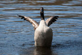 Canadian Goose flapping wings in soft focus — Stock Photo